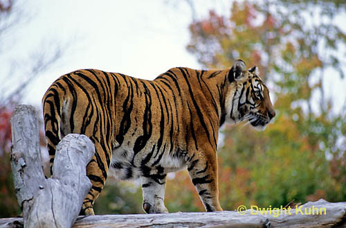 MA40-031z  Bengal Tiger - Panthera tigris