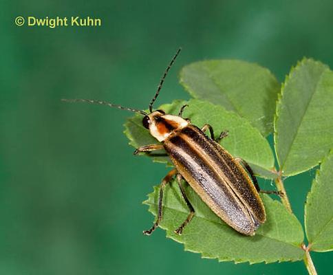 1C24-527z  Firefly Adult - Lightning Bug - Photuris spp.
