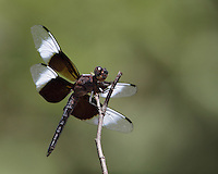 Widow Skimmer (Libellula luctuosa) is one of the group of dragonflies known as king skimmers. From today, this is the male of the species..