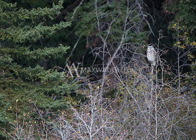 One of several great horned owls we saw during this autumn trip in Yellowstone and the Grand Tetons.