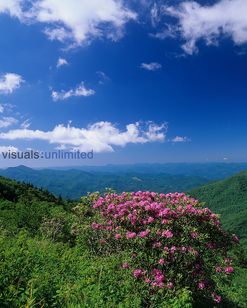 Catawba Rhododendron and distant Plott Balsam Mountains and Nantahala National Forest viewed from the Blue Ridge Parkway, North Carolina, USA.