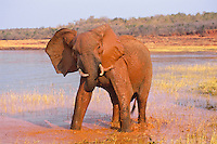 African Elephant bull taking mud bath in Lake Kariba, Zimbabwe.