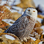 A snowy owl sits on the rocks at Smithville Lake near Kansas City, Missouri.