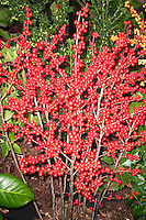 Ilex verticillata 'Berry Heavy' winterberry holly berries berry fruit, red berries for winter