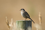 White-crowned sparrow, Zonotrichia leucophrys, Point Reyes National Seashore, California