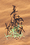 Green desert plant in sand.