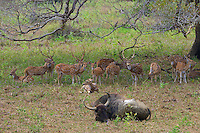 Water buffalo and the Sri Lankan axis deer (Axis axis ceylonensis) or Ceylon spotted deer is a subspecies of axis deer (Axis axis) that inhabits only Sri Lanka