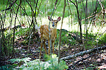 A White Tail Fawn looking for food near St. Germaine, Wisconsin, in late July 2006. Photo Steve Apps.