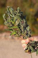 La Clape. Languedoc. Domaine Mas du Soleilla. Garrigue undergrowth vegetation with bushes and herbs. Hand holding a bunch of herbs and spices picked in the garrigue: rosemary romarin, sage sauge, thyme thym... France. Europe.