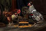 20120421 Pirate Chickens