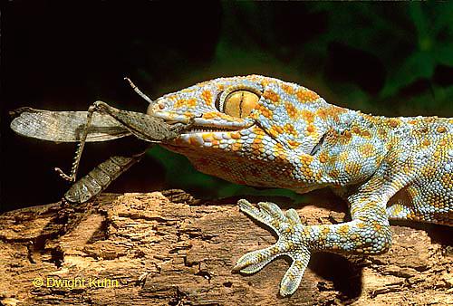 GK09-001a  Tokay Gecko eating insect prey - Gekko gecko.