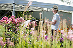 FREE TO USE PICTURE BY CHRIS BULL FOR ROYAL HORTICULTURAL SOCIETY <br /> Preparations are under way today (Wed 15th July) for the RHS Flower Show at Tatton Park which opens its doors on Wednesday 22 July and will run until Saturday 25th July.<br /> Alison King working on the Perennial Legacy Garden by Paul Hervey-Brookes.  Paul is based in the Cotswolds.<br /> <br /> <br /> Further info from RHS PR-<br /> aimeereilly@rhs.org.uk 07739 630705<br /> edhorne@rhs.org.uk  07776193226<br /> siobhanmacmahon@rhs.org.uk