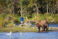 Brown bear and fly fisherman in the Brooks river, Katmai National Park, southwest, Alaska.