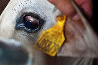 Cattle traceability for exportation at Santa Amalia do Tangara farm, Tangara da Serra, Mato Grosso State, Amazon, Brazil.