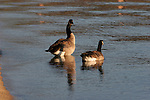 canada geese at D.L. Bliss State park