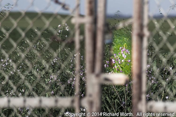 Purple wildflowers framed by a partially open gate and fence along the central California coast.