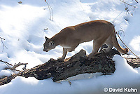 0218-1012  Mountain Lion (Cougar) in Snow, Puma concolor (syn. Felis concolor)  © David Kuhn/Dwight Kuhn Photography.