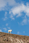 A mountain goat looks at the viewer while descending a ridgeline in Logan Pass, Glacier National Park.