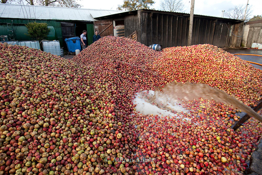 Burrow Hill Cider. .Harry masters apples and Stoke reds being washed before pressing.  .Kingston Episcopi. Somerset.