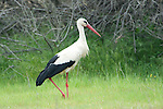 White Stork, Ciconia ciconia, Lesvos Island, Greece, summer visitor, Kalloni Salt Pans , lesbos