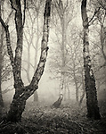 Trees in misty woodland in winter