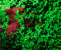 MINERAL FLUORESCENCE<br /> Photoluminescence of Calcite &amp; Willemite<br /> Willemite (Xn2SiO4) fluoresces green &amp; Sphalerite (ZnS) fluoresces red under full spectrum UV radiation.