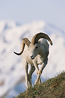 Dall's sheep (Ovis dalli), ram,  Denali National Park, Alaska.