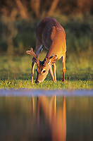 White-tailed Deer, Odocoileus virginianus, adult eating, Willacy County, Rio Grande Valley, Texas, USA