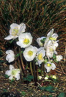 Helleborus niger White Magic hellebore