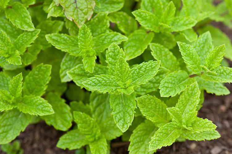 Moroccan mint (Mentha spicata var. crispa 'Moroccan').