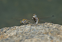 389030003 a wild pair of mated or in copulat gray sanddragons progomphus borealis perches on a rock near a small hot springs in inyo county california