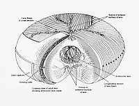 Biomedical illustration of the the eye lens. It is biconvex, elliptical in shape, and approximately 4mm thick at its anteroposterior diameter.    **On Page Credit Required**