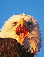 Bald Eagle screaming