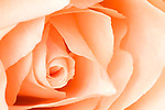 Close-up of an elegant peach rose