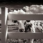 #blackandwhite #monochrome #wisconsin #midwestmemoir #photograph #landscape #fence #cow #farm #dairyfarm #wisconsindairyfarm #clouds