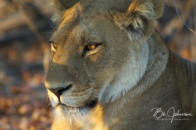 Sleepy lion (panthera leo) in the early morning light.<br /> The Khwai side of Moremi in the Okavango Delta, Botswana.