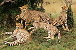 Cheetah family, Kenya