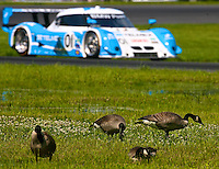 Fearless Fowl: brave geese hangout next to race track as cars speed past, Memorial Day Classic Grand-Am Roles Series race, Lime Rock Park, Lakeville, CT, May 20, 2011.  (Photo by Brian Cleary/www.bcpix.com)