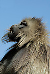 Gelada Baboon, Theropithecus gelada, Simien Mountains National Park, Ethiopia, portrait, male, blue sky background, vunerable, endangered.Africa....