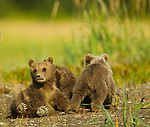 Brown bear cubs play in a meadow along the coast in Lake Clark National Park, Alaska.  Photo by Gus Curtis.