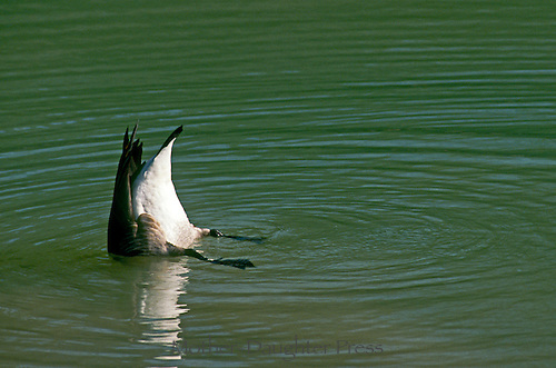 Canada goose, Branta canadensis, upside down in water