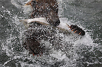 A brown bear grabs a fish and water flies in the fight to hold on to the food.  The hungry bear is fishing in Kurilskoe Lake Preserve, a world heritage site with serious poaching.