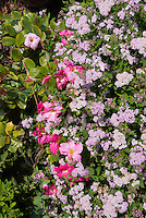 Pink mandevilla 'Alice du Pont' climbing vine supported by spiraea shrub, color coordinated theme