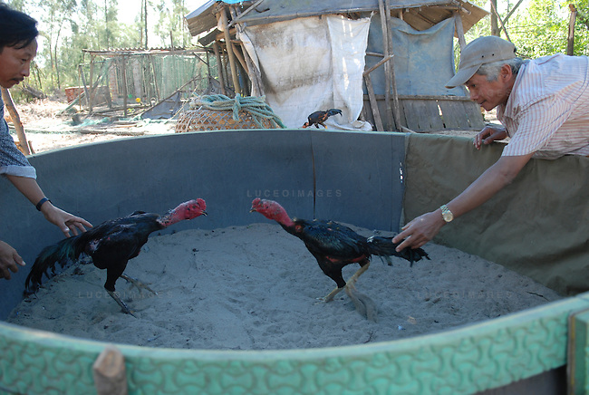 A fighting chicken trainer gathers his birds for a fight in Hoi An, Vietnam.