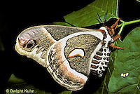 Cecropia Moths - Life Cycle