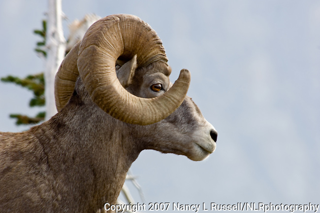 Close up view of Bighorn Sheep in Glacier National Park