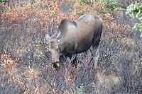 Denali National Park cow moose