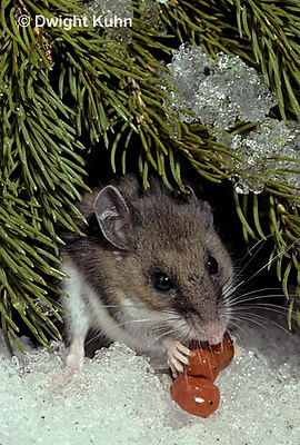MU12-100z  White-Footed Mouse - eating berries - Peromyscus leucopus