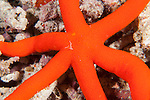 Misool, Raja Ampat, Indonesia; a red, six legged Sea Star (Echinaster luzonicus) on the coral reef