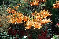 Lilium 'Aristo' (Asiatic Lily) medium view of several plants yellow with orange spots GR2243
